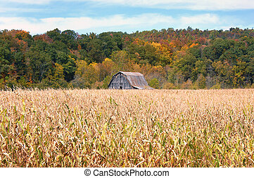 Tennessee Cornfield - Tennessee cornfield is past its prime...