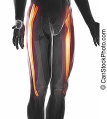 tensor fasciae latae - muscle anatomy isolated - tensor...