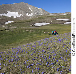 tent at Asian Caucasus, Azerbaijan with many blue flowers in front