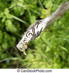 Tent caterpillar nest aka Lackey moth caterpillars, ...