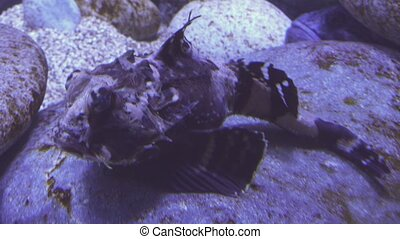 Tentacled flathead in saltwater aquarium stock footage video...