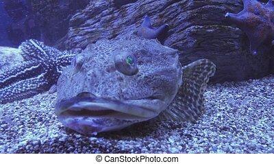 Tentacled flathead in saltwater aquarium stock footage video...