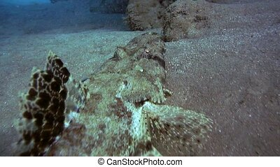 Tentacled flathead in the Red Sea, Egypt