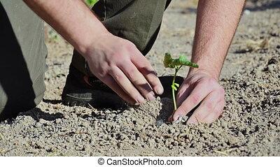 tenue, homme, mains, arbre, soil., graine, planter