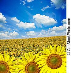 terep of virág, közül, napraforgók