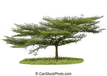 Terminalia ivorensis tree isolated on white background