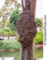 Termite nest on a tree in the park of Si Sa Ket, Thailand
