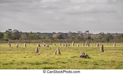termite, nester, in, pantanal, fokus vordergrund, brasilien