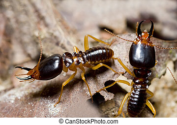 termite soil eaters - the soldier termite of soil eaters