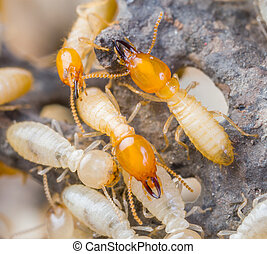 termites, dans, thaïlande