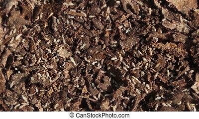Termites rotation - close up Termites rotation