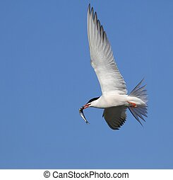 tern, 飛行, 共通, fish.
