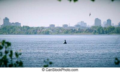 Tern flies in circles over water of Dnieper river in summer...