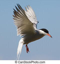 Tern fliting. - The Common Tern (Sterna hirundo) is a...