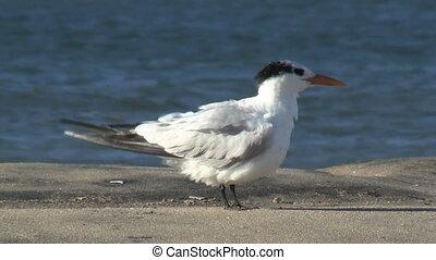 Tern Preening - Tern preening.