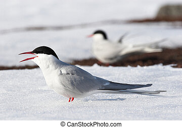 terns ártico, ligado, a, neve