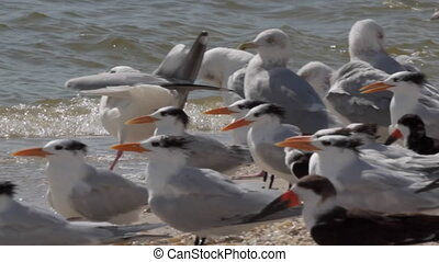 Terns and Seagulls on the beach