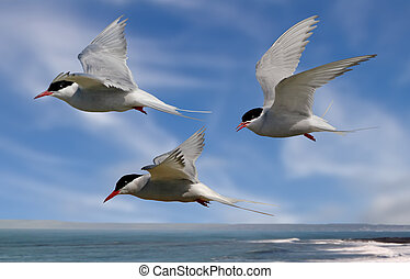 Terns head out to Sea - Whilst their mates incubate their...