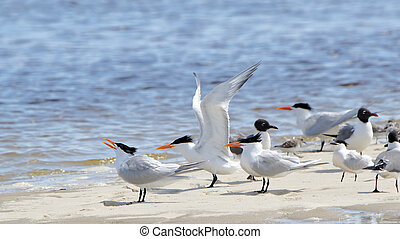 Terns on a sandbar with wing extended