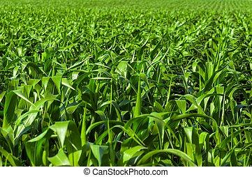 terra cultivada, industrial, colheita, antes de