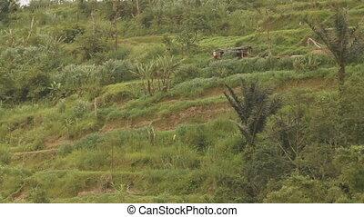 Terrace farming. Rice fields on Bali. Winter rainy season. Indonesia.