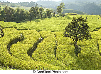 Terrace of rice field in Thailand
