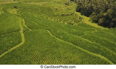 Terrace rice fields, Bali,Indonesia. - Aerial view of rice...