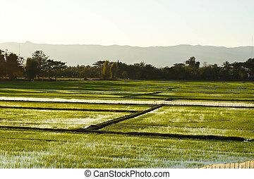 Terrace rice fields in evening sunset