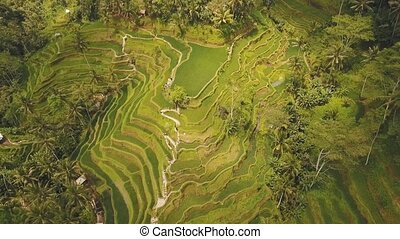 Terrace rice fields in Ubud, Bali,Indonesia. - Aerial view...