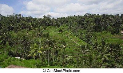 Terrace rice fields in Ubud, Bali,Indonesia. - Rice Terrace...