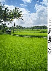 Terrace rice fields