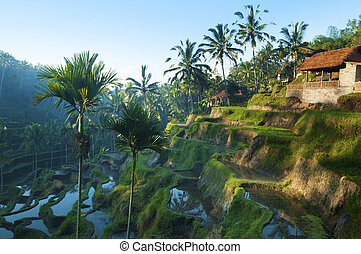 Terrace rice fields. - Terrace rice fields in morning ...