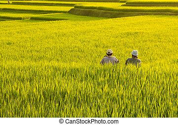 Terrace rice fields.