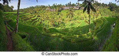 terrace rice fields, Ubud - Terrace rice fields in ...