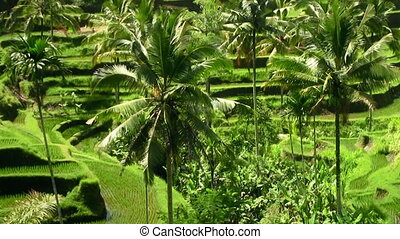 Terrace rice fields. Zoom out from palm trees