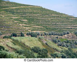Terraced vineyard in Portugal