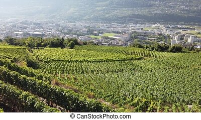 Aerial landscape of terraced vineyards in Sion, capital of canton of Valais, Switzerland. Spectacular scenery of rows of vines growing during the summer. Wine region with popular wine tasting tours.