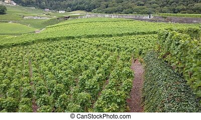 Aerial landscape of terraced vineyards of Aigle in Canton of Vaud, Switzerland, Europe. Spectacular scenery of rows of vines growing during the summer. Wine region with popular wine tasting tours.