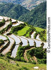 terraces., campo, sapa, vietnam, riso