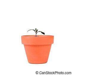Terracotta Planter with Small Tomato Plant