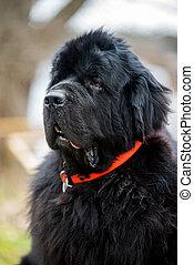 terranova, primer plano, tamaño, perro, exterior, gigante, negro