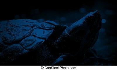 Terrapin At Night - Closeup of terrapin floating in jungle...