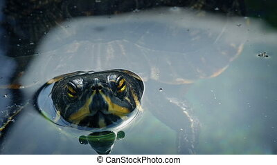 Terrapin Floating In The Water