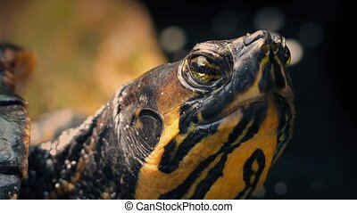 Terrapin In Jungle Closeup - Terrapin in the jungle blinking...