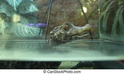 terrarium miniature alligator - still missed first trimester...