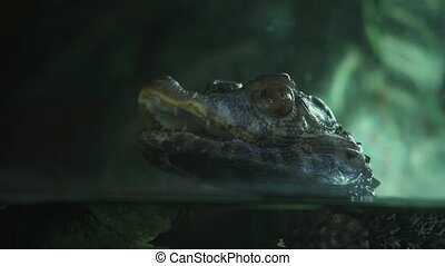 terrarium miniature alligator - still missed first trimester...