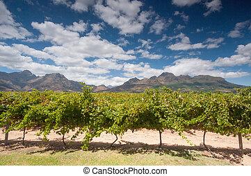 terras, town., região, stellenbosch, capa, vinho