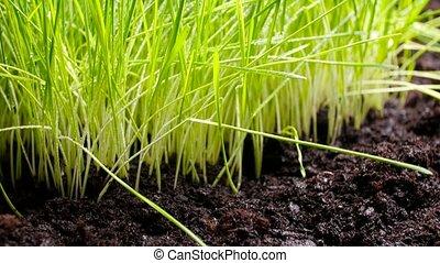 terre, herbe, frais, vert, fertile