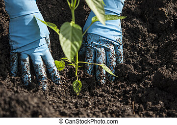 terrein, aanplant, handen, kiemplant