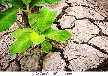terrein, boompje, jonge, banaan, barst
